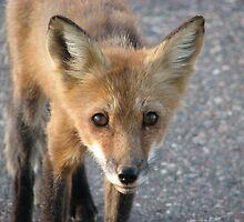 Fox Closeup - Pigeon River Border Crossing by Shauna  Kosoris