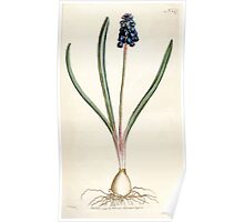The Botanical magazine, or, Flower garden displayed by William Curtis V5 v6 1792 1793 0027 Hyacinthus Botryoides, Grape Hyacinth Poster