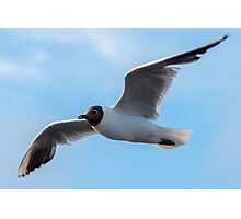 Black-Headed Gull Photographic Print