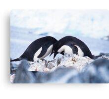 Adelie Penguin Mating Calls/Rituals, Antarctica  Canvas Print