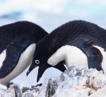 Adelie Penguin Mating Calls/Rituals, Antarctica  Sticker