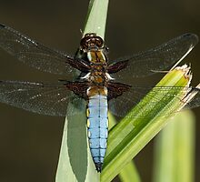 Broad-bodied chaser by Ashley Beolens