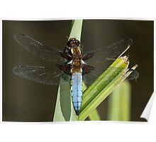 Broad-bodied chaser Poster