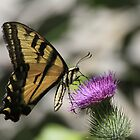 Swallow Tail by Timothy Frink