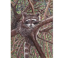 The Lazy Little Raccoon Photographic Print