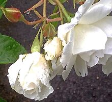 White rose in rain by joanshannon