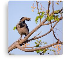 Hooded crow (Corvus cornix) with a mouse Canvas Print