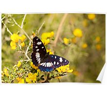 Southern White Admiral butterfly (Limenitis reducta) Poster