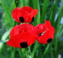 Ladybird Poppies in Triplicate  by AnnDixon