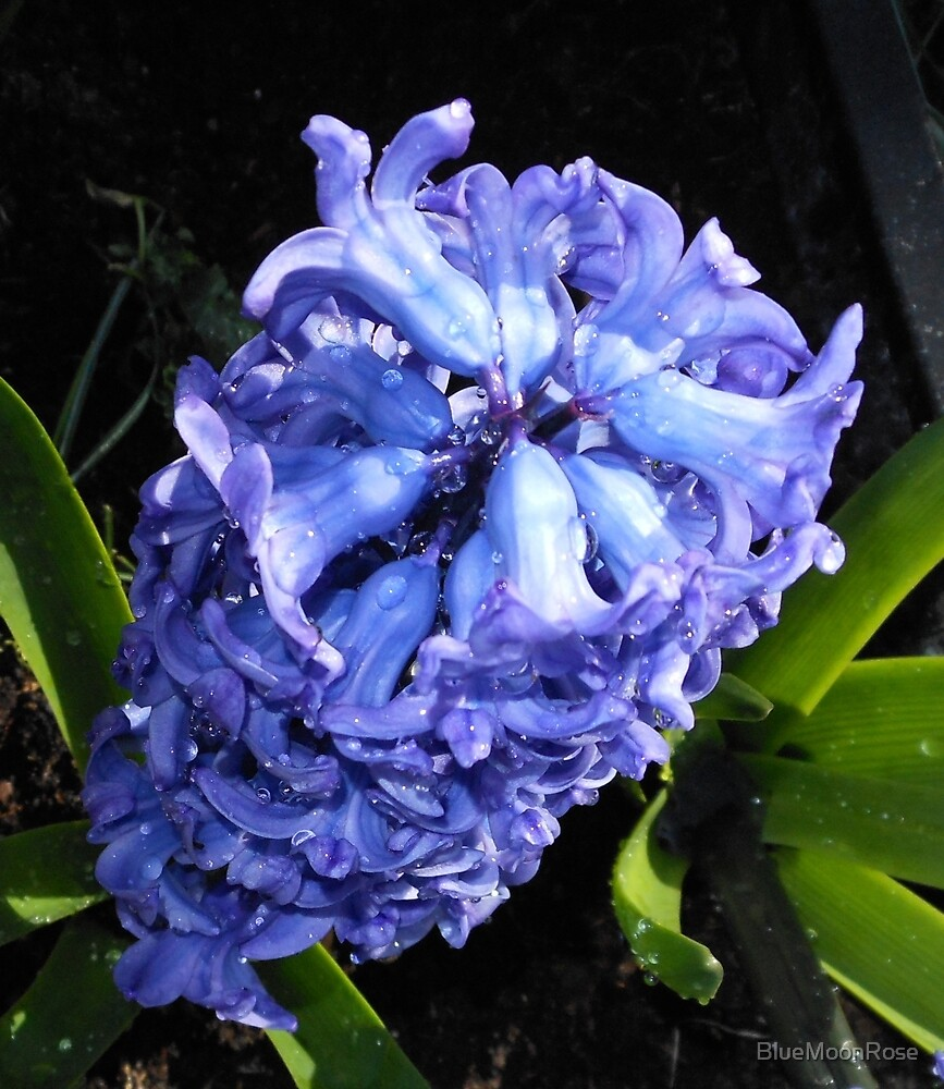Blue Hyacinth Beauty by BlueMoonRose
