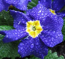 In every life some little rain must fall...Bluesy Primrose by BlueMoonRose