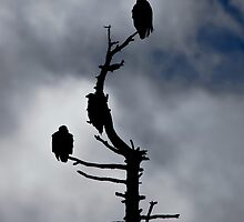 Harrison Mills Eagles by mspixvancouver