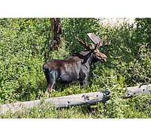 RMNP Bull Moose Photographic Print