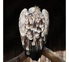Sleeping eagle Photographic Print