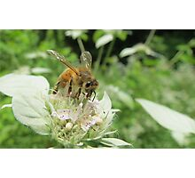 Honey Bee on Hoary Mountain Mint Flowers Photographic Print