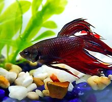 Betta by fita