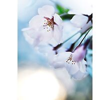 Beautiful cherry blossom flowers on blue sky background art photo print Photographic Print