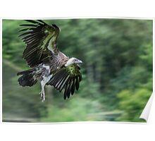 Vulture in Flight Poster