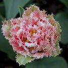 Ruffled Tulip by ltdRUN