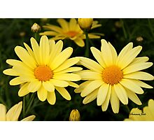Just Call Them Mellow Yellow ~ Daisies Photographic Print