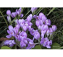 Crocuses ~ It Must Be Spring! Photographic Print