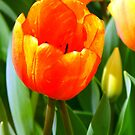 Rain Drops On Incerdible Edible Tulips by WildestArt