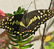 Citrus Swallowtail by Lee Jones