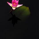 Water Lily by alan shapiro