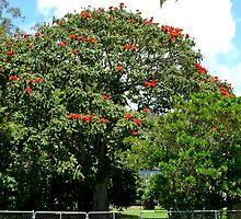 African Tulip Tree by Margaret  Hyde