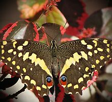 Swallowtail on Acalypha by Lee Jones
