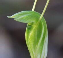 Dwarf Greenhood - Linguella nana Sticker
