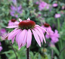Echinacea by Claudia Dingle
