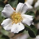 White Rose With Water Droplets by heatherfriedman