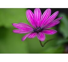 Purple cosmos  Photographic Print