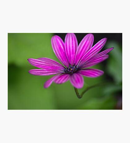 Purple cosmos  Photographic Print