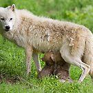 Arctic wolf feeding pups by Jim Cumming