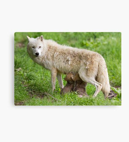 Arctic wolf feeding pups Canvas Print