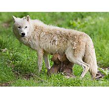 Arctic wolf feeding pups Photographic Print