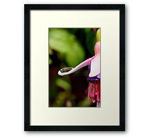 Fuchsia Dewdrop Framed Print