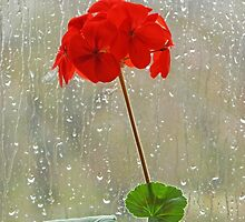 Red Pelargonium in a Rainy Window by MikeSquires