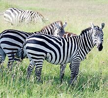 Zebras in Serengeti by Pravine Chester