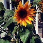 Vineyard Sunflower by RC deWinter