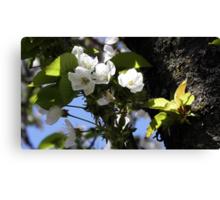 Stella Cherry Blossoms Canvas Print