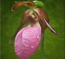 Pink Lady's Slipper with Rain Drops by Kelvin  Taylor