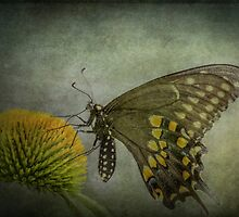 Butterfly on Echinacea by KathleenRinker