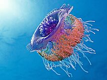 Crown Jellyfish by Henry Jager