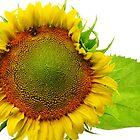 Jane's Sunflower by lorilee