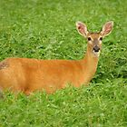 Doe in the Beans by lorilee