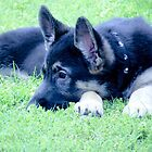 German Shepherd Puppy by Jackie Popp