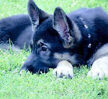 German Shepherd Puppy by Jackie Popp